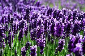 lavender essential oil skin benefits, beneftis lavender essential oil, are beneftis lavender essential oil, skin benefits lavender essential oil, skin benefits lavender essential oil, health benefits lavender essential oil,