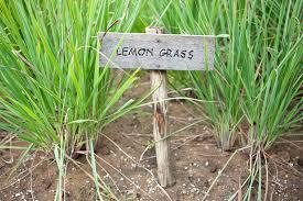 lemongrass bar soap, lemongrass hand soap, soap lemongrass, make natural lemongrass soap