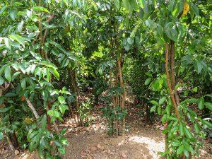 cinnamon leaf vs cinnamon bark, cinnamon leaf vs cinnamon bark oil, cinnamon vs cinnamon bark, cinnamon leaf essential oil benefits, benefits cinnamon leaf essential oil, cinnamon leaf essential oils,