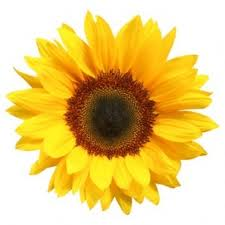 benefits of sunflower oil, health benefite sunflower oil, make soap with sunflower oil,